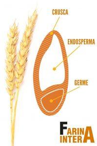 struttura-interna-grano-farina-intera