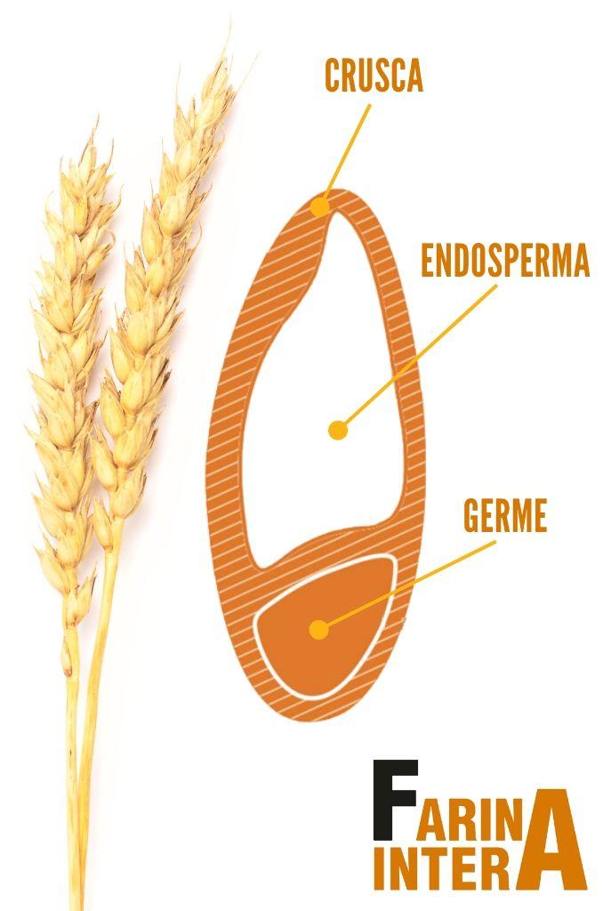 Varvello: struttura di un chicco di grano